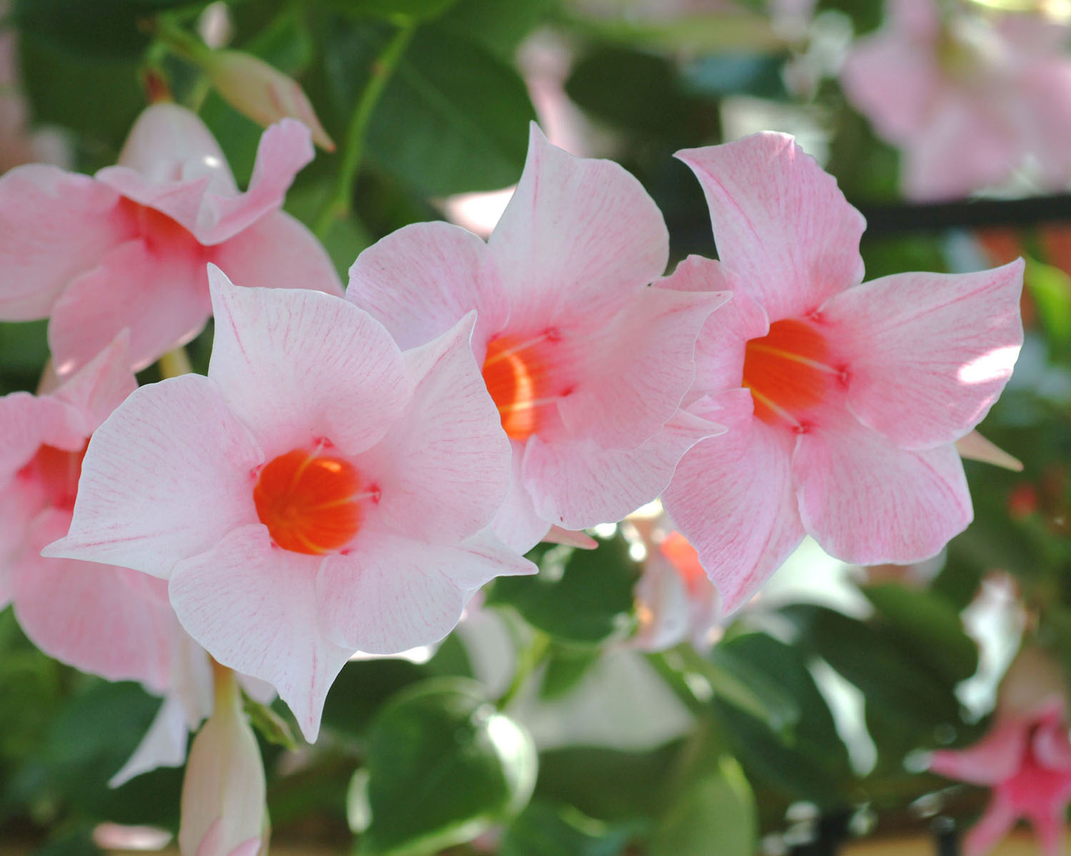 Sun Parasol Mandevilla Cream Pink Original Sunfire Nurseries